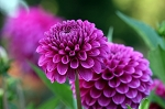 September 17, 2016 - Vibrant and Dashing Dahlias Class