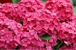 September 16, 2017 - Happy Hydrangeas with TOUR
